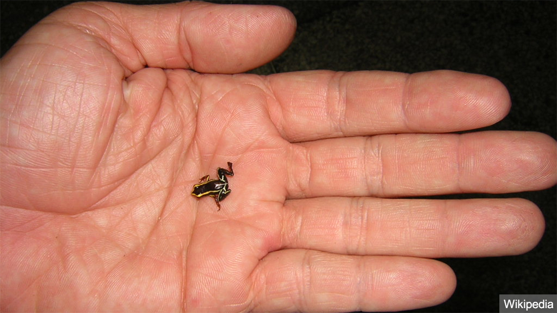 Cuban ranita, one of the world's smallest frogs, wild cuba