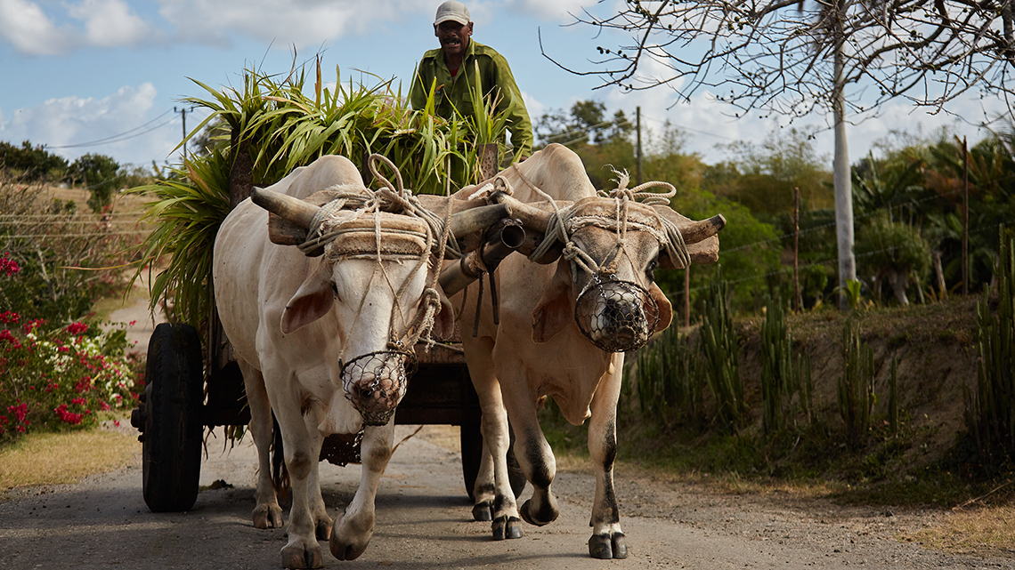 Cuban guajiro in a oxen drawn cart near Finca Vista Hermosa wild cuba