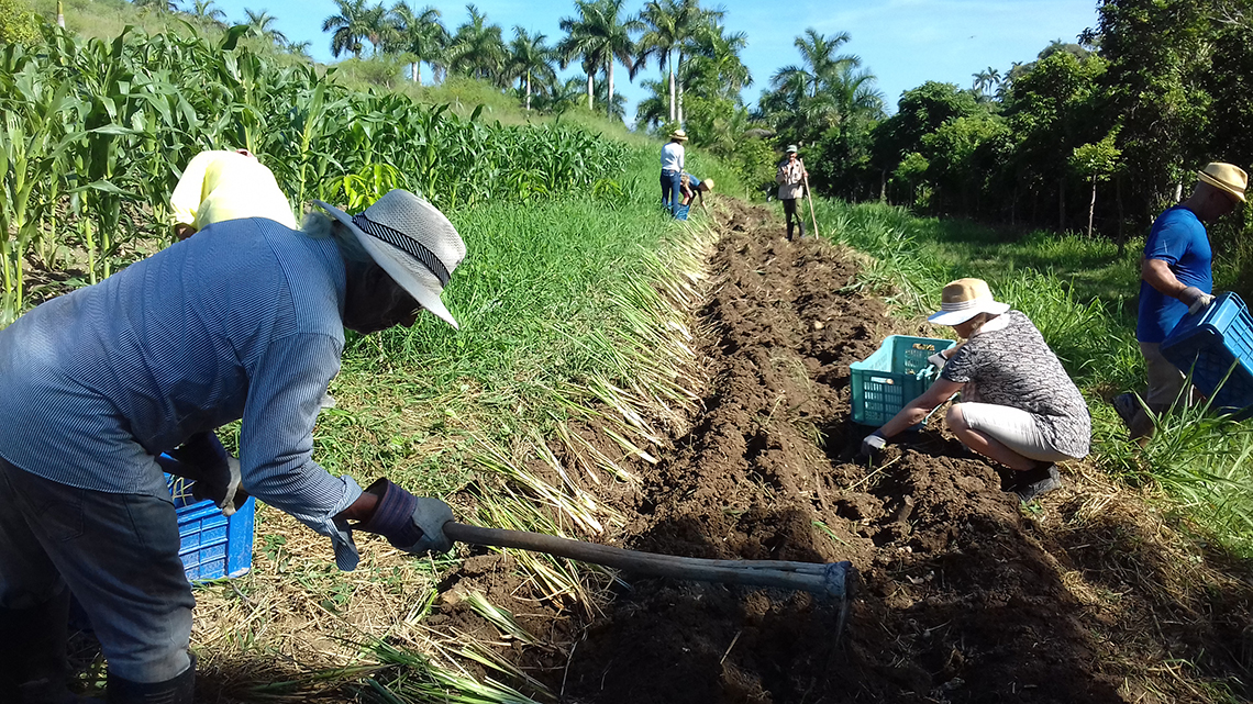 Farmers working the fields of Finca Tungasuk wild cuba
