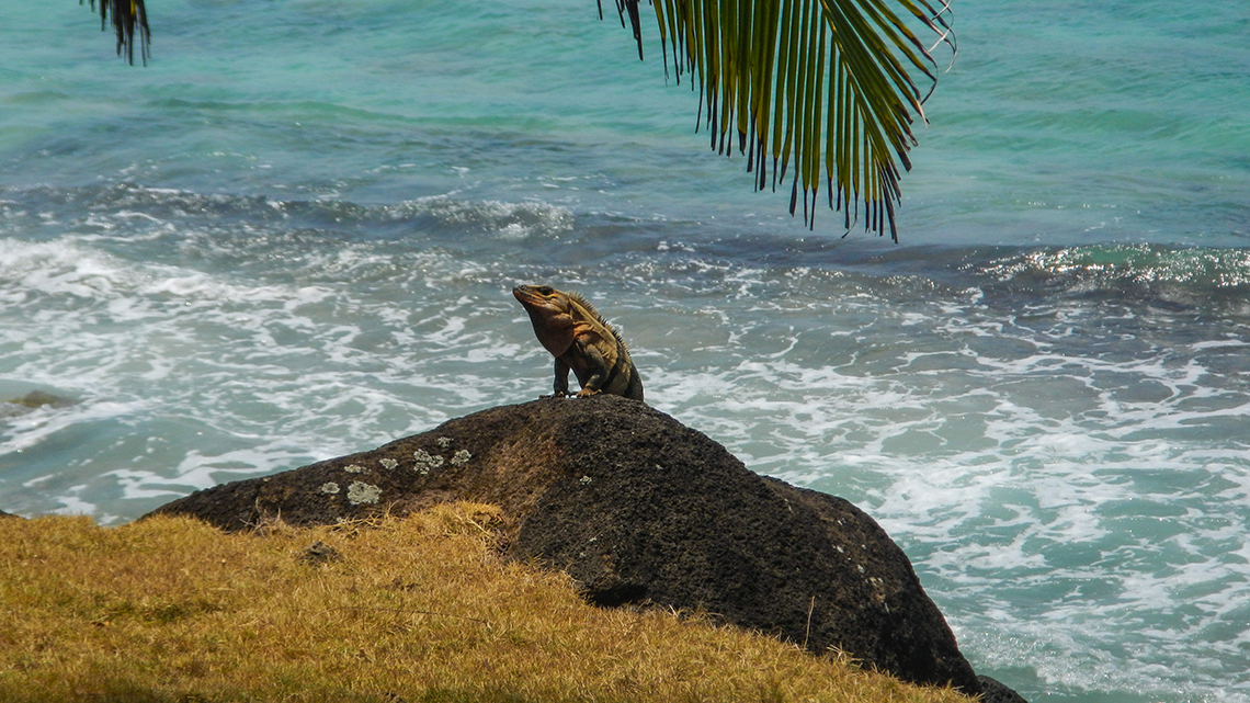 Large iguana emerging of the waters in the Cuban coast wild cuba