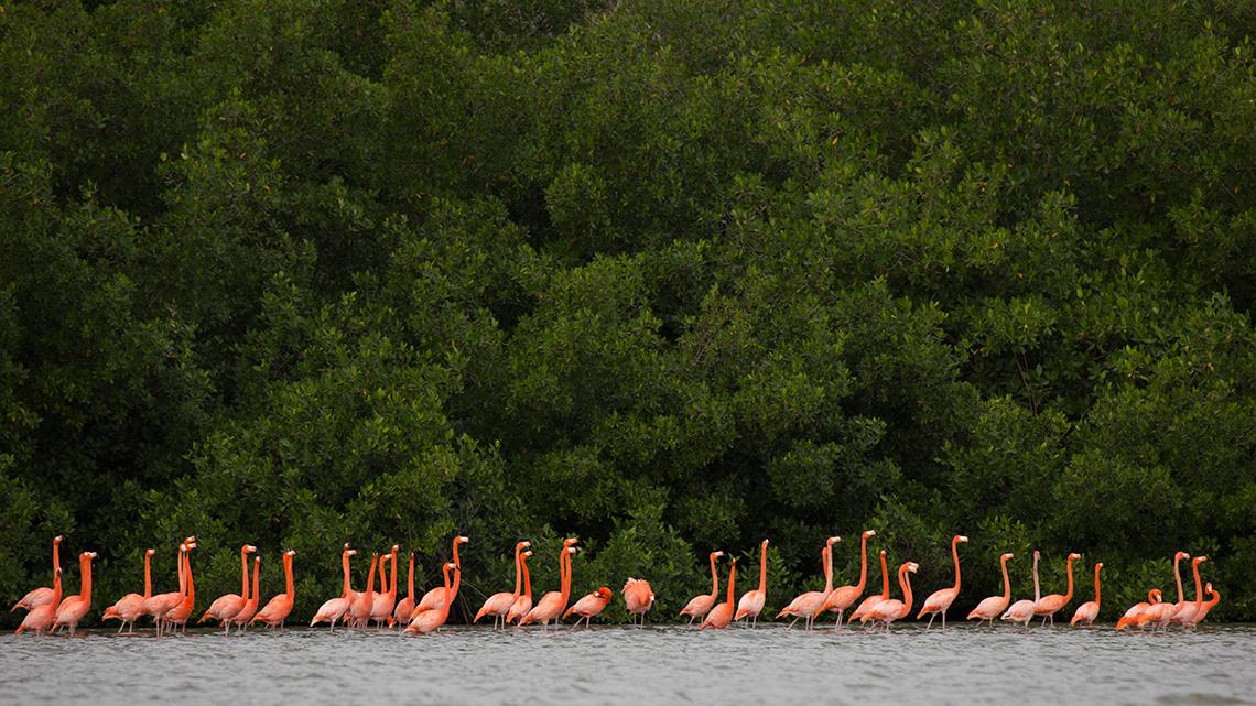 Flamingos feeding in the shores of Guanahacabibes Peninsula