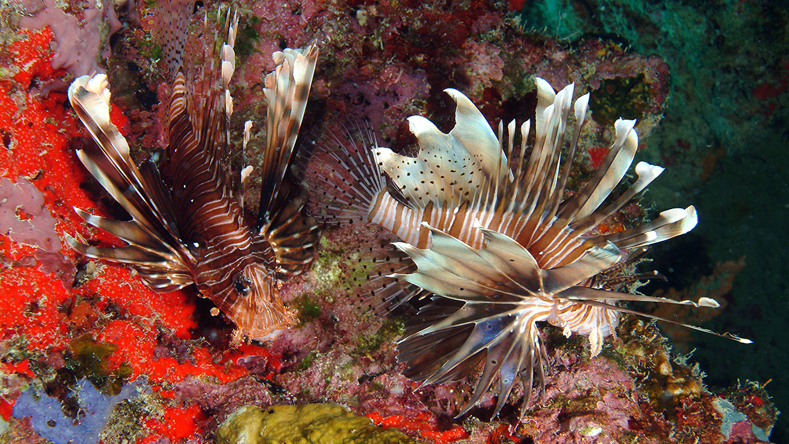 Lion fish gentle swimming among the coral reefs of the Seychelles