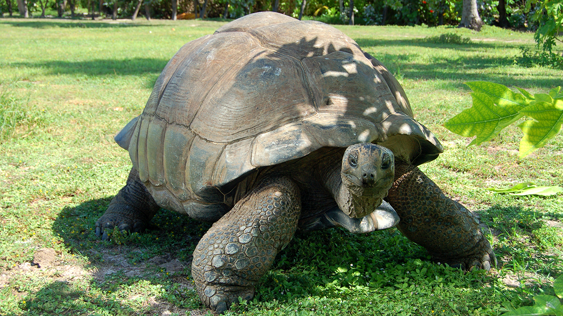 Giant tortoise at St Anne Marine National Park in the Seychelles